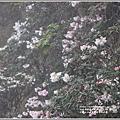 合歡山小奇萊步道玉山杜鵑-2021-04-100.jpg