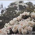 合歡山小奇萊步道玉山杜鵑-2021-04-104.jpg