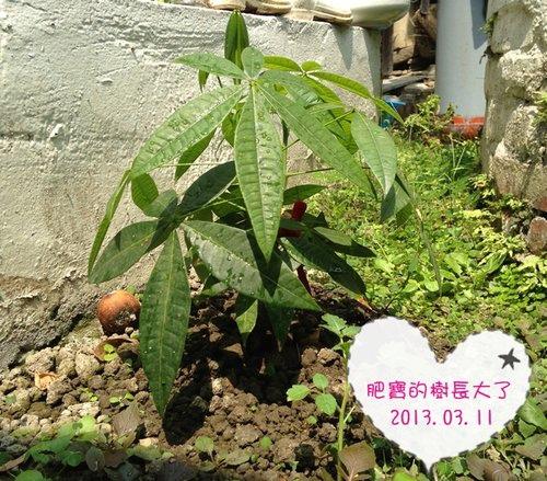 肥寶的樹 長大囉~ (樹葬) 2013.03.11.jpg