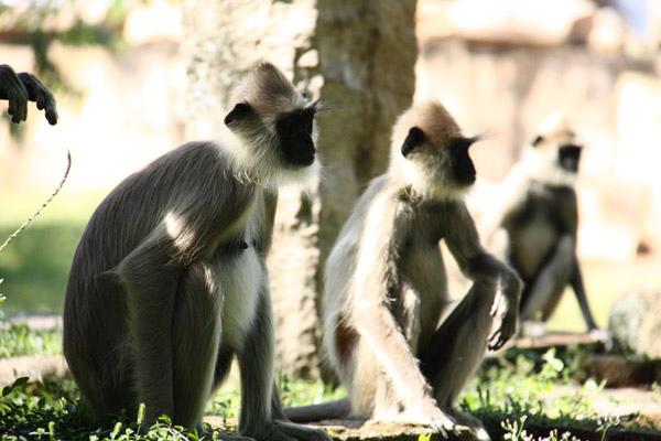 """黑面猴子,名字是""""林迦斯"""""""