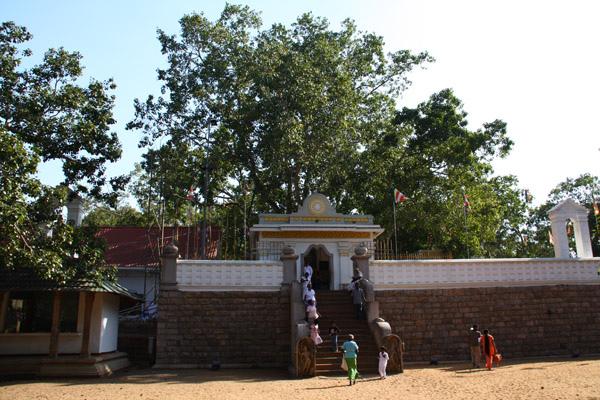 神聖摩訶菩提樹(Sri Maha Bodhi Tree)