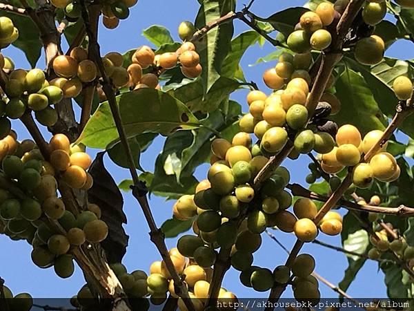 美斯樂咖啡樹.jpg