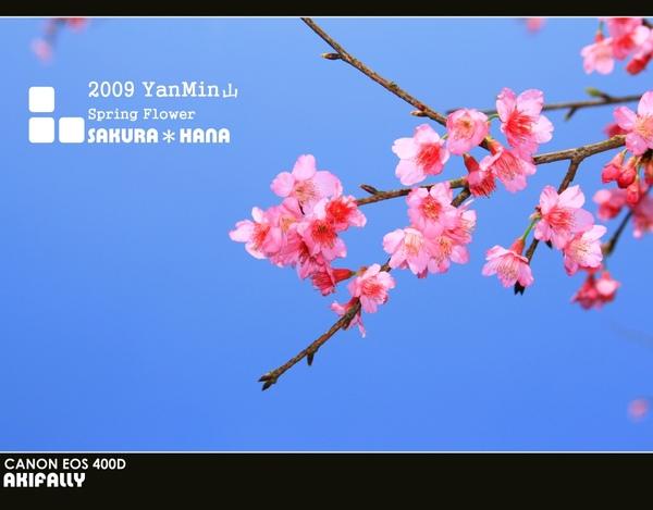 2009陽明山花季43.jpg