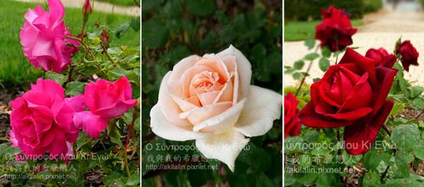 rose0-1.jpg