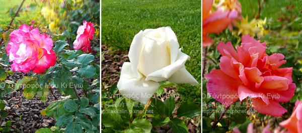 rose0-3.jpg