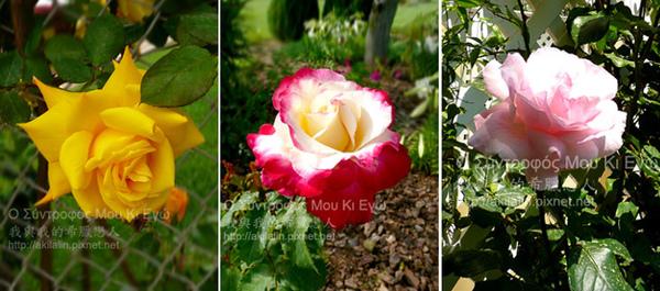 rose0-4.jpg