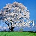 日本春天7.jpg
