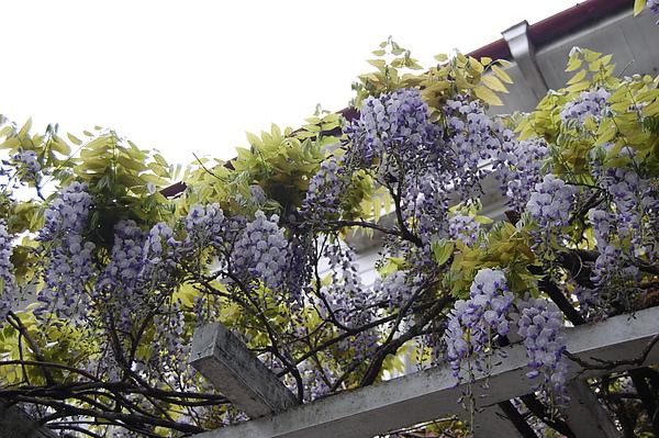 很難開的紫藤花