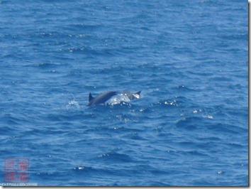DSC03071_跳到水面的海豚