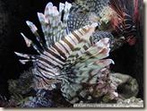 CIMG2424_獅子魚