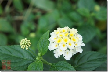 DSC00983_可愛的小花