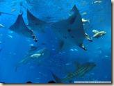 CIMG2494_巨大的魟魚與豆腐鯊在裡面繞
