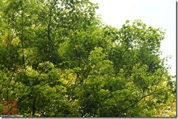 DSC01532_很綠的楓樹