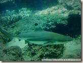 CIMG2381_吃得胖嘟嘟的鯊魚