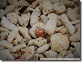 CIMG2270_珊瑚上有很多寄居蟹
