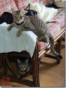 DSC02633_黑糖喜歡埋伏在椅子上看阿貓