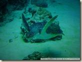 CIMG2395_在海中飛的海龜