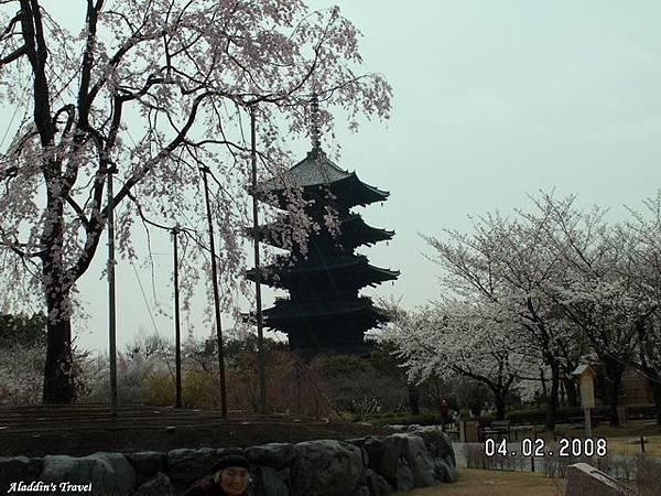 東寺最富盛名的五重塔,在櫻粉的襯托下,格外顯得古意盎然