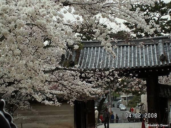 僧眾們每天從櫻枝下遙望寺外的大千世界,會不會有「凡心乍現」的動念?