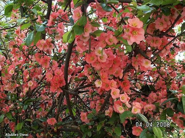 RAMADA飯店照的,這種花很特別,不知花名,在關西第一次看到