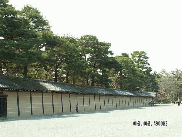 京都外苑牆內高聳的青松