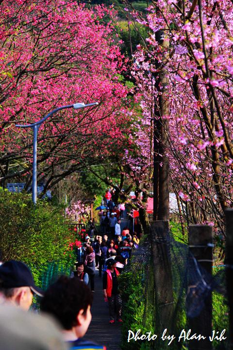 Sakura-20