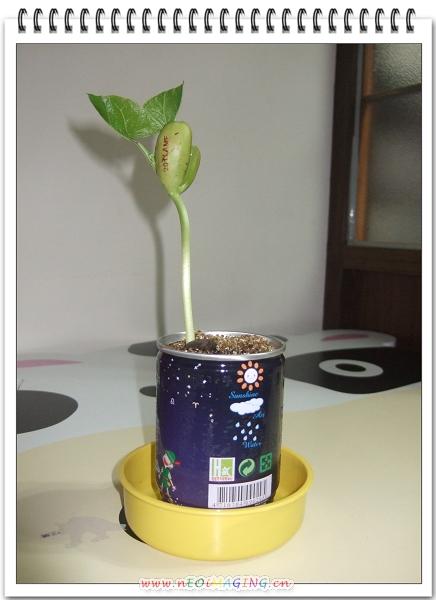 來種魔豆吧5.jpg