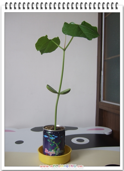 來種魔豆吧10.jpg