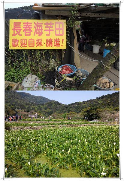 2014竹子湖海芋季[陽明山國家公園]1