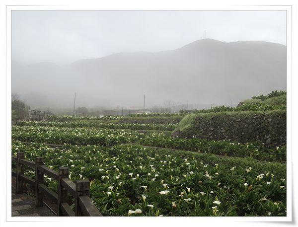 2015竹子湖海芋季[陽明山國家公園]9