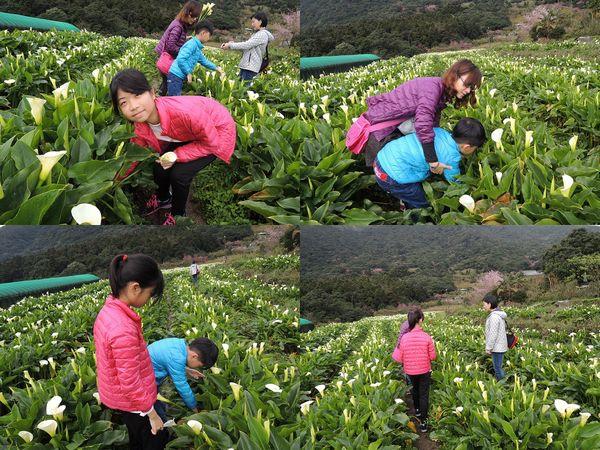 2015竹子湖海芋季[陽明山國家公園]20