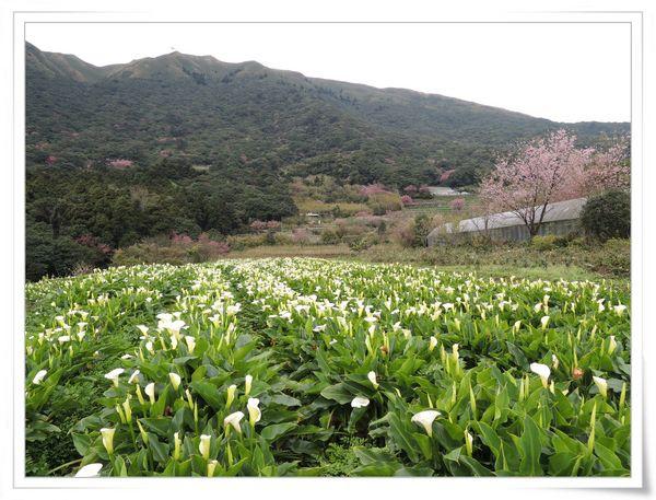 2015竹子湖海芋季[陽明山國家公園]23