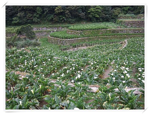 2010竹子湖海芋季.jpg