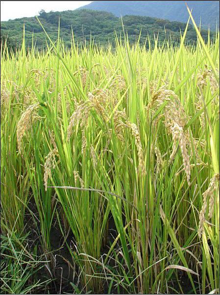 水稻~Organic Rice