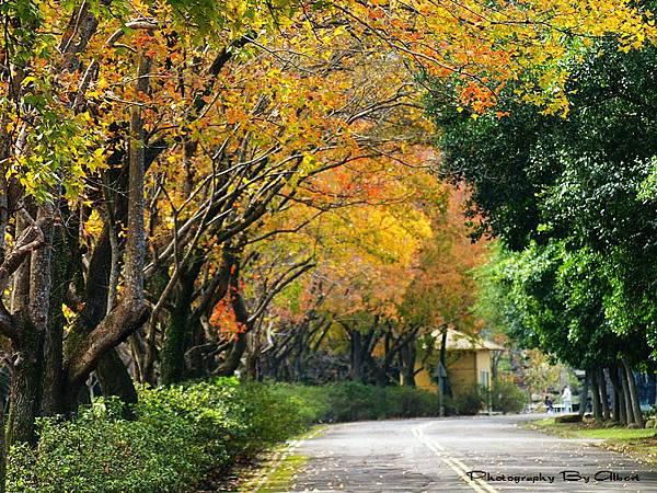 【楓葉】桃園.石門水庫