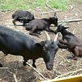 營區裡養的羊