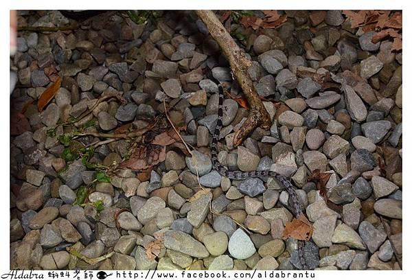和雨傘節相似的白梅花蛇可是相當可愛的