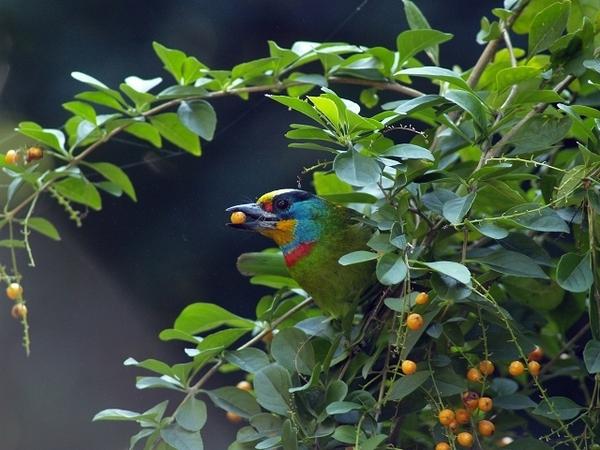 五色鳥_植物園_fineP1013556