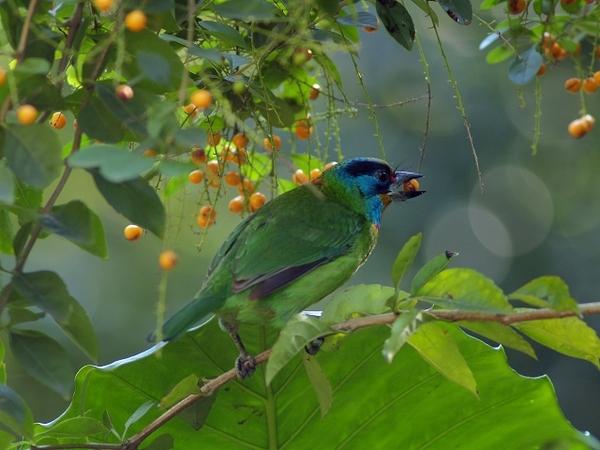 五色鳥_植物園_fineP1013573