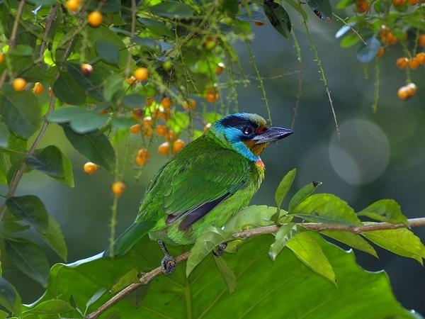 五色鳥_植物園_P1013575