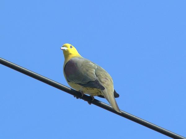 綠鳩P3111324