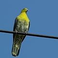 綠鳩P3111327-01