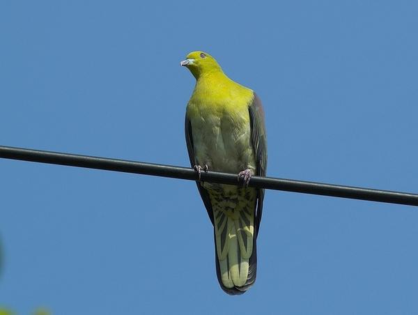 綠鳩P3111335-01