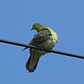 綠鳩P3111340-01
