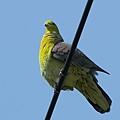 綠鳩P3111353-01