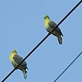 綠鳩P3111358-01