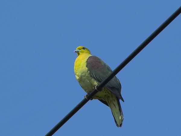 綠鳩P3111361-01