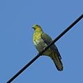 綠鳩P3111363-01