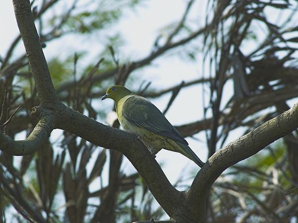 綠鳩P3111368-01
