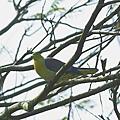 綠鳩P3111371-01